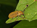 Coleoptera indet. from a West-Javan lowland rainforest (6408232551).jpg