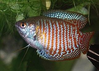 Gourami family of fishes