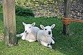 Coll lambs - geograph.org.uk - 808563.jpg