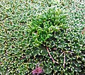 Colobanthus sur azorelle - panoramio.jpg