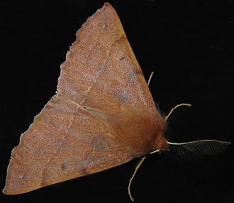 Feathered thorn - Image: Colotois pennaria 9018r