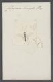 Colpomeria - Print - Iconographia Zoologica - Special Collections University of Amsterdam - UBAINV0274 046 03 0082.tif