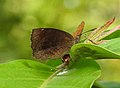 Common Castor Ariadne merione by Dr. Raju Kasambe DSCN5025 (3).jpg