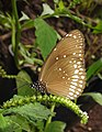 Common Crow Euploea core on Heliotropium by Dr. Raju Kasambe DSCN3099 (1).jpg