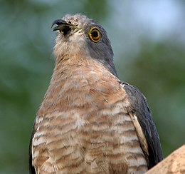 Common Hawk Cuckoo (Cuculus varius) in Hyderabad W IMG 7381.jpg