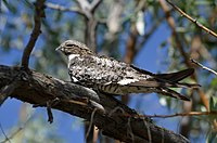 Common Nighthawk (14398823167).jpg