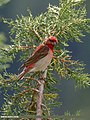 Common Rosefinch (Carpodacus erythrinus) (31560551958).jpg