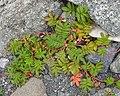 Common Silverweed (Argentina anserina) - Lark Harbour, Newfoundland 2019-08-18 (02).jpg