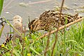 Common Snipe (Gallinago gallinago) (26210895165).jpg
