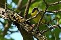 Common Yellowthroat (151632920).jpg