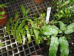 Coniogramme emeiensis - Lyman Plant House, Smith College - DSC04259.JPG