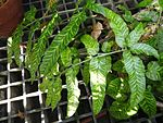 Coniogramme emeiensis - Lyman Plant House, Smith College - DSC04260.JPG