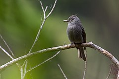 240px contopus fumigatus, smoke colored pewee