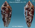 Conus aureus 2.jpg