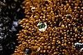 Copper moss (3758240719).jpg