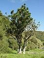 Cordyline australis Giant.jpg