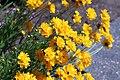 Coreopsis grandiflora IMG 3222-.jpg