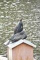 Cormorans (Phalacrocorax carbo) (2).jpg