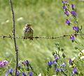 Corn Bunting. Miliaria calandra...amongst Spring flowers - Flickr - gailhampshire.jpg