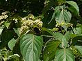Cornus brachypoda (2559013832).jpg