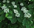 Cornus sanguinea 3 RF.jpg