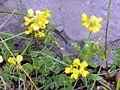 Coronilla vaginalis 2.jpg