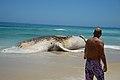 Corpo de baleia encalhada na Praia do Arpoador, no Rio (24568319498).jpg