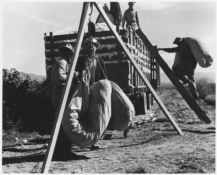 File:Cortaro Farms, Pinal County, Arizona. Cotton pickers weigh, haul, and dump their sacks at the cotton . . . - NARA - 522505.jpg