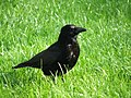 Corvus standing on grass.jpg