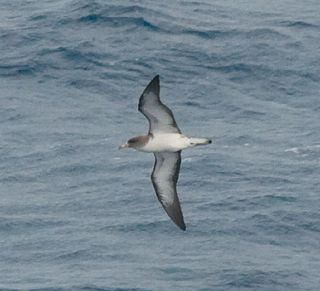 <i>Calonectris</i> Genus of birds