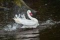 Coscoroba coscoroba (Coscoroba Swan - Koskorobaschwan) - Weltvogelpark 2012-02.jpg