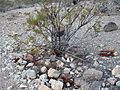 Cottontail creosote-bush.jpg