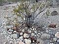 Cottontail creosote-bush.jpg