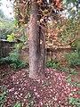 Couroupita guianensis - Cannon Ball Tree at Peravoor (47).jpg