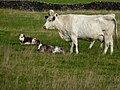 Cow and calves, Wardlow Mires - geograph.org.uk - 1564353.jpg