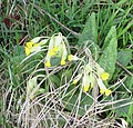 Cowslip clump - geograph.org.uk - 746766.jpg