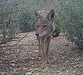 Coyote (9098579726).jpg