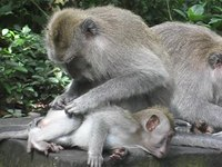 Archivo:Crab-eating Macaque.ogv
