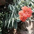 Crassula perfoliata var. falcata-IMG 0686.JPG