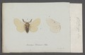Crateronyx - Print - Iconographia Zoologica - Special Collections University of Amsterdam - UBAINV0274 056 04 0133.tif