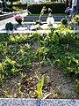 Crepis pulchra sl63.jpg