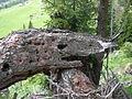 Crocodile wood-head.JPG