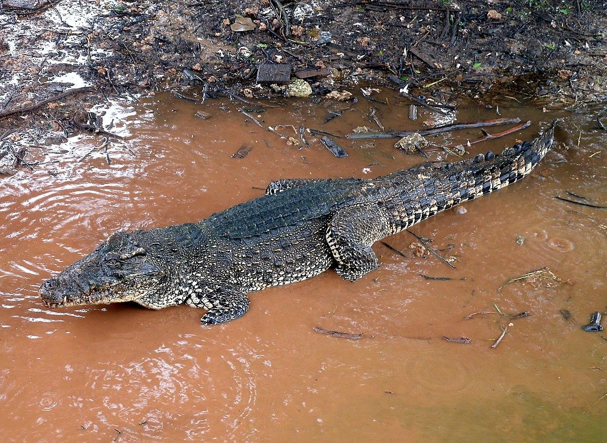 Crocodile De Cuba  U2014 Wikip U00e9dia