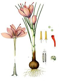 Crocus sativus illustration botanique du Kohler's Medicinal Plants (1887).