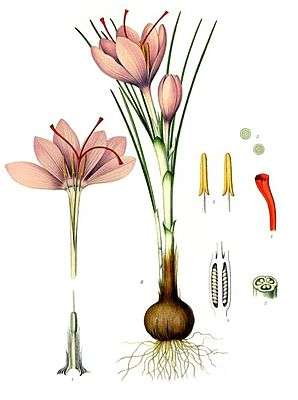 Saffron (Crocus sativus), illustration