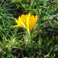 Crocus yellow.jpg
