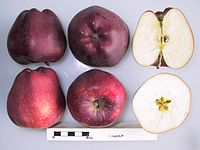 Cross section of Delicious and Starkspur Supreme, National Fruit Collection (acc. 1979-046).jpg