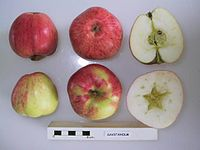 Cross section of Savstaholm, National Fruit Collection (acc. 1927-003).jpg