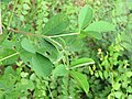 Crotalaria pallida Smooth Rattlebox at Mayyil (10).jpg