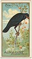 Crow, from the Birds of America series (N4) for Allen & Ginter Cigarettes Brands MET DP828750.jpg